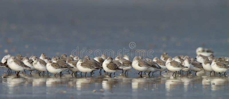 alba calidris som sanderling fotografering för bildbyråer