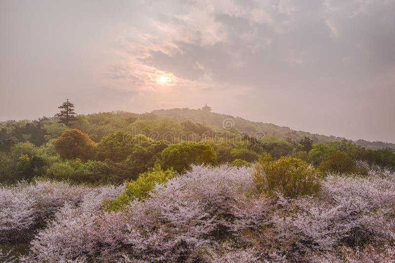 Alba con il fiore di ciliegia immagini stock libere da diritti