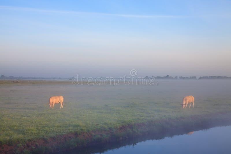 Alba con la rugiada e le mucche di mattina immagine stock libera da diritti