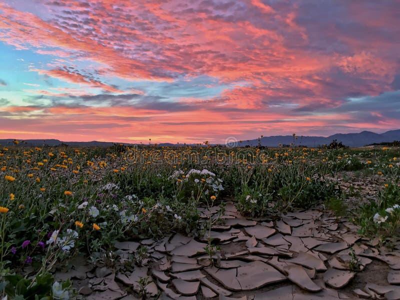 Alba del deserto e fioritura stupefacenti dei fiori fotografie stock libere da diritti
