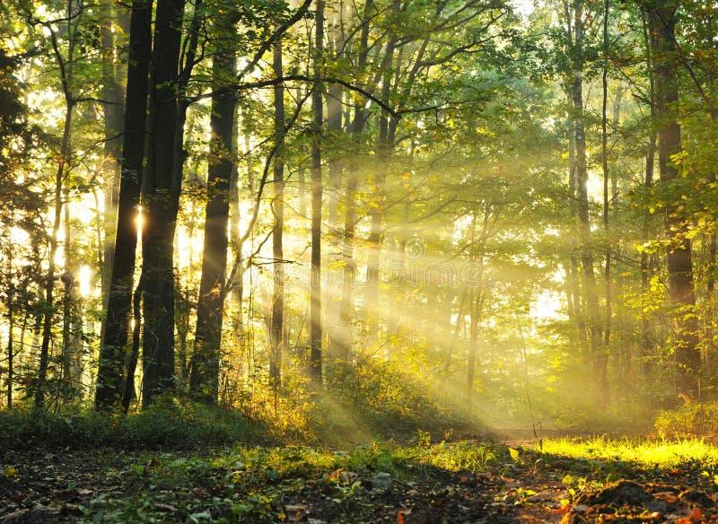 Alba della foresta fotografia stock