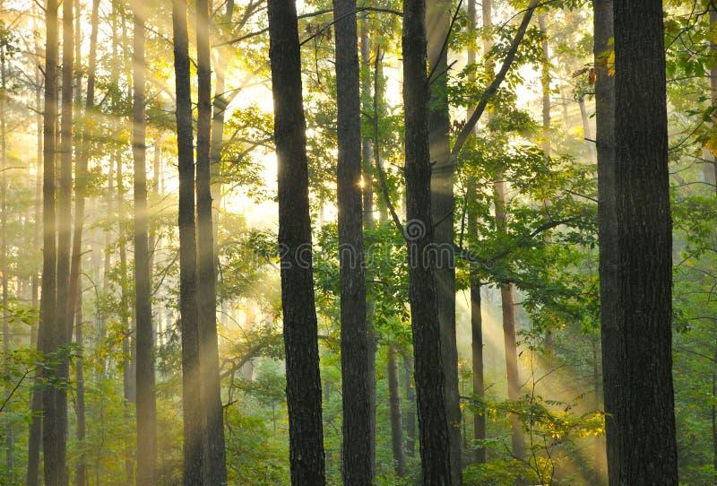 Alba della foresta fotografie stock