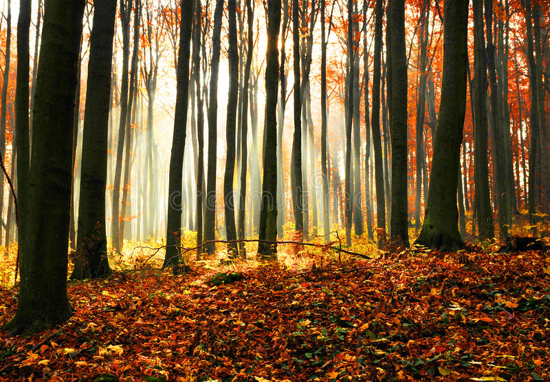 Alba di autunno nella foresta del faggio. immagini stock libere da diritti
