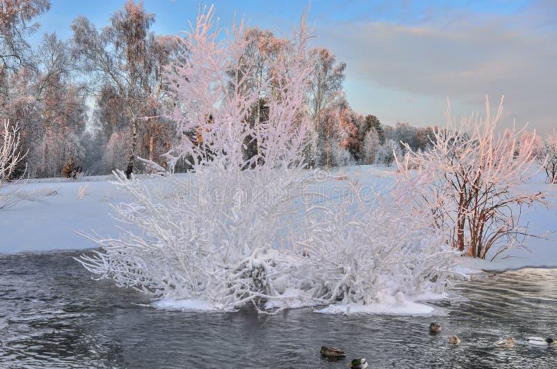 Alba di rosa di inverno sopra il fiume, dove galleggiamento delle anatre fotografia stock libera da diritti