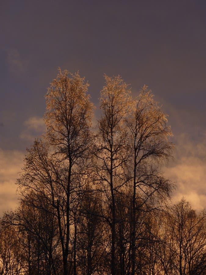 Alba dietro gli alberi di betulla glassati immagini stock libere da diritti