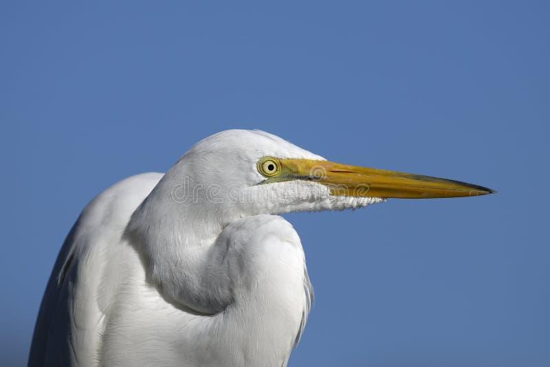 alba egret ardea большой стоковое фото