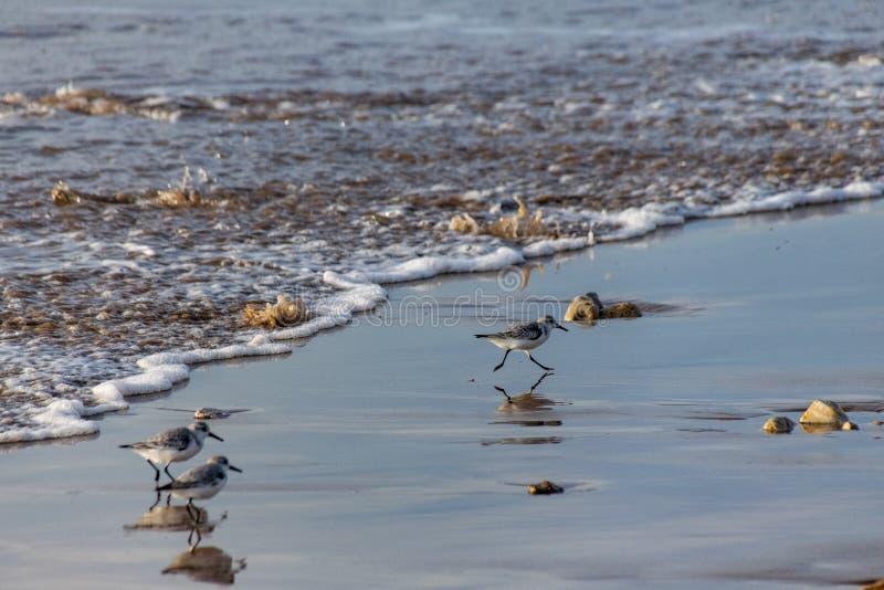 Alba kleine wadende vogels van Sanderlingscalidris, die het strand van inkomende golven lanceren aangezien zij naar voedsel in Ag royalty-vrije stock afbeeldingen
