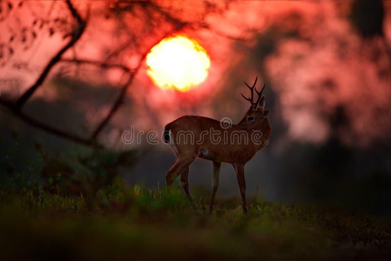 Alba nel Brasile Sole di sera, scena magica con i cervi, cervi di Pampa, bezoarticus di Ozotoceros, testa dell'animale, animale n fotografia stock libera da diritti