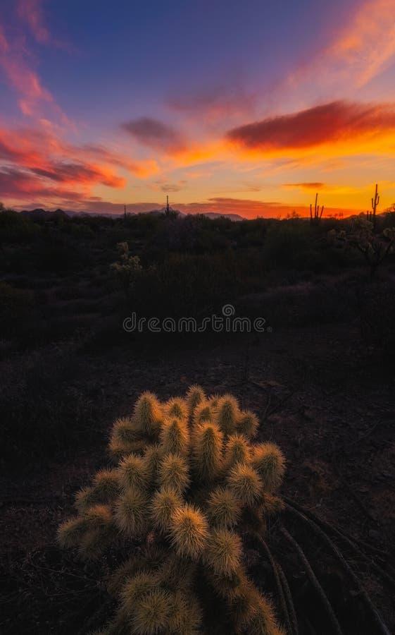 Alba nel deserto dell'Arizona ed in un cactus di cholla fotografia stock