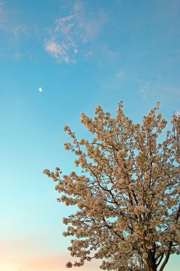 Alba rosa con la luna di mattina sopra Cherry Tree in fiore nella valle dell'antilope nell'alto deserto di California del sud U.S fotografie stock