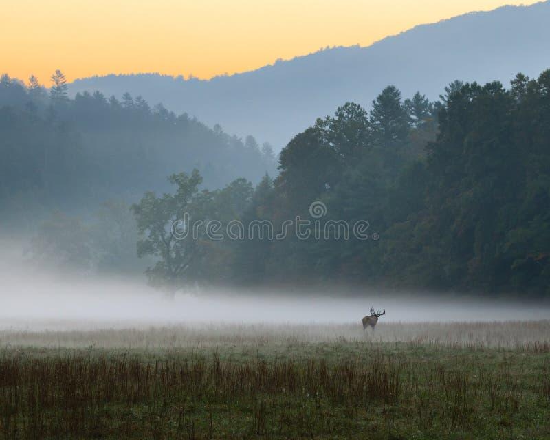 Alba sopra il prato nebbioso con gli alci maschii del toro che pascono fotografia stock