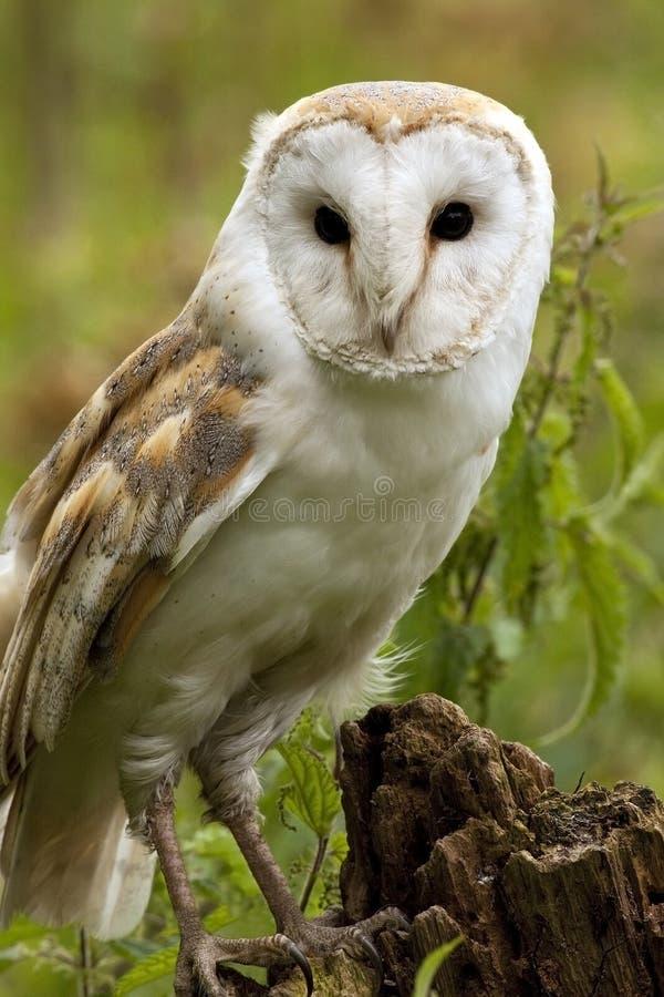 alba tyto för ladugårdengland owl royaltyfri foto