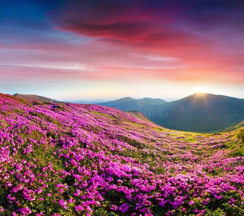 Alba variopinta di estate con i campi del flo di fioritura del rododendro fotografia stock