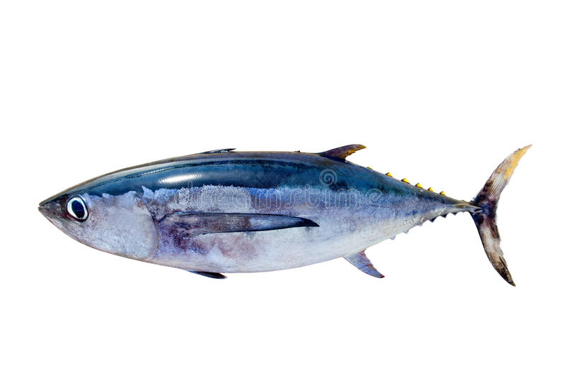 Albacore tuna Thunnus alalunga fish isolated. On white