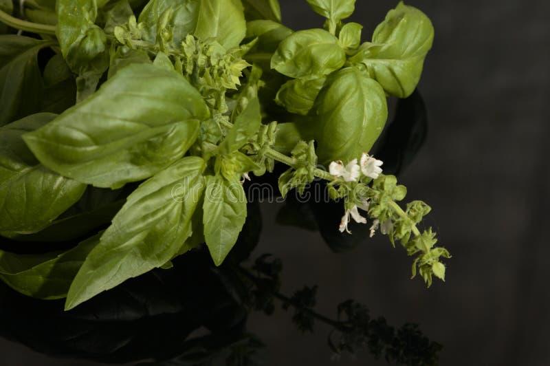 Albahaca con la inflorescencia en un fondo negro fotografía de archivo