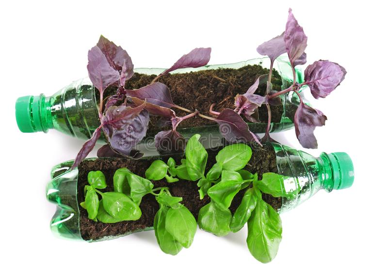 Albahaca joven que crece en las botellas plásticas aisladas en blanco imagen de archivo