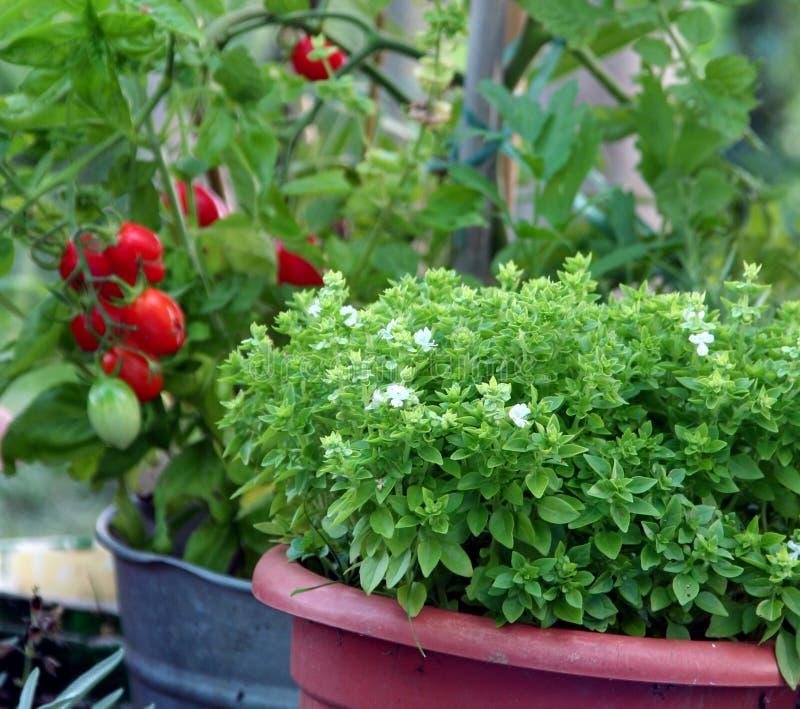 Albahaca y tomate que cultivan un huerto del envase fotos de archivo