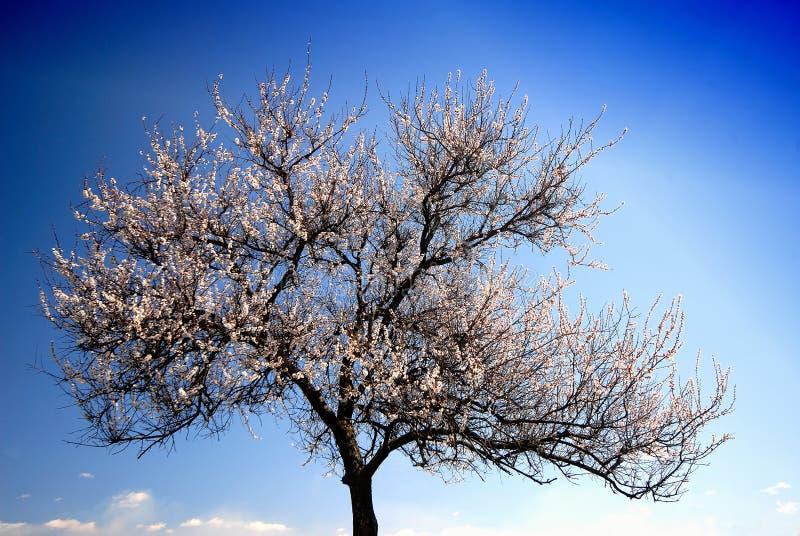Albaricoque del árbol foto de archivo libre de regalías