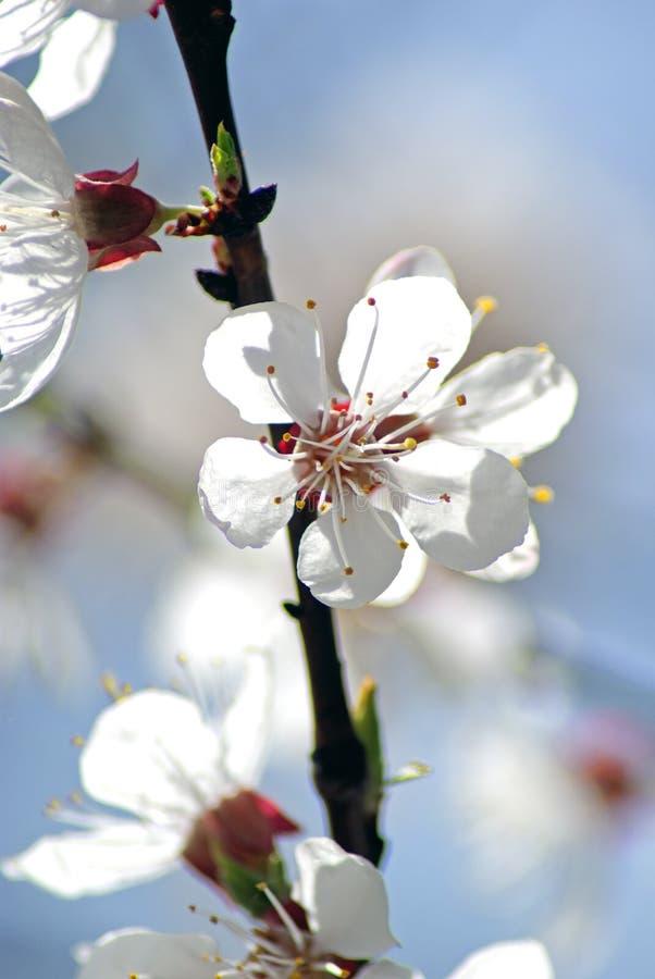 Albaricoque floreciente Primavera imagenes de archivo