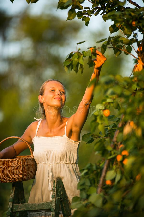 Albaricoques de la cosecha de la mujer bonita, joven encendidos foto de archivo