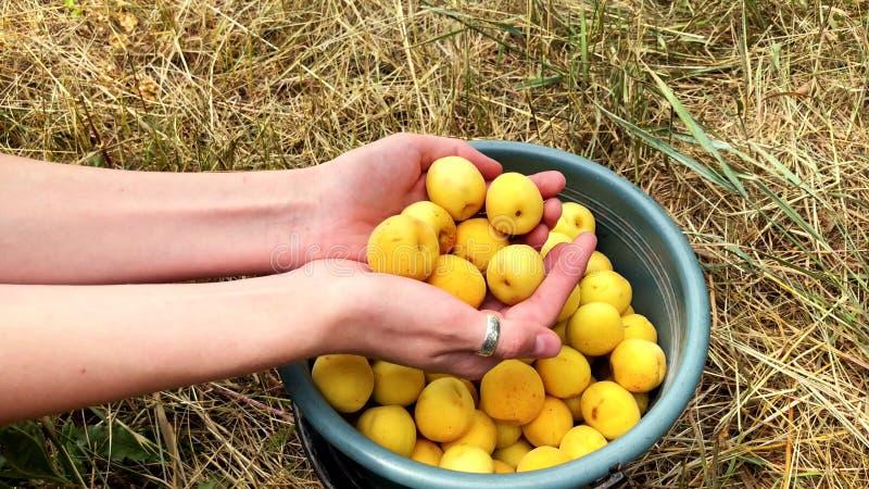 Albaricoques orgánicos jugosos maduros en las manos de una muchacha imagen de archivo libre de regalías