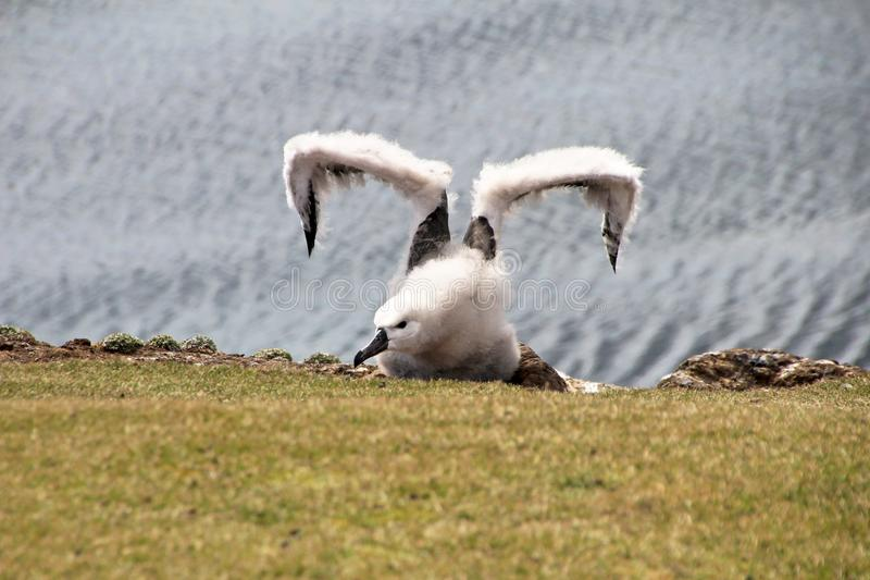Albatro Browed nero, melanophris del thalassarche, Falkland Islands fotografia stock