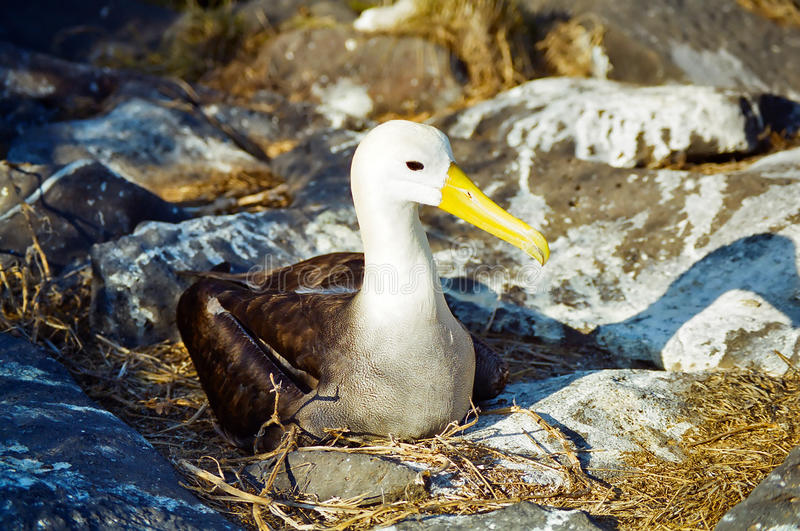 Albatro del Galapagos immagine stock libera da diritti