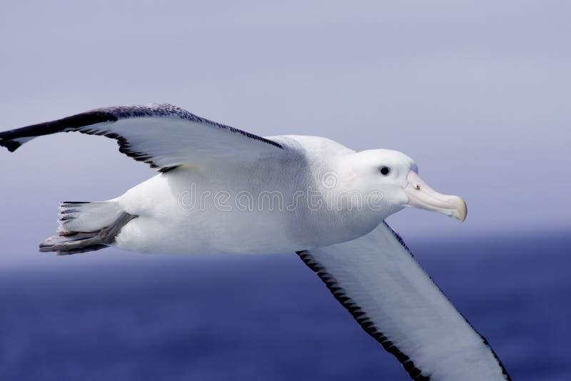 Albatro di vagabondaggio durante il volo fotografia stock
