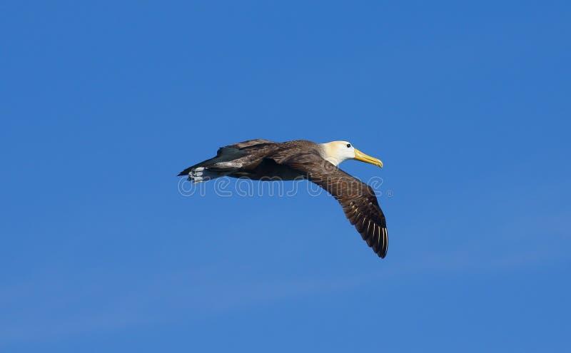 Albatro fluttuato che sale sopra l'isola di Espanola fotografie stock libere da diritti