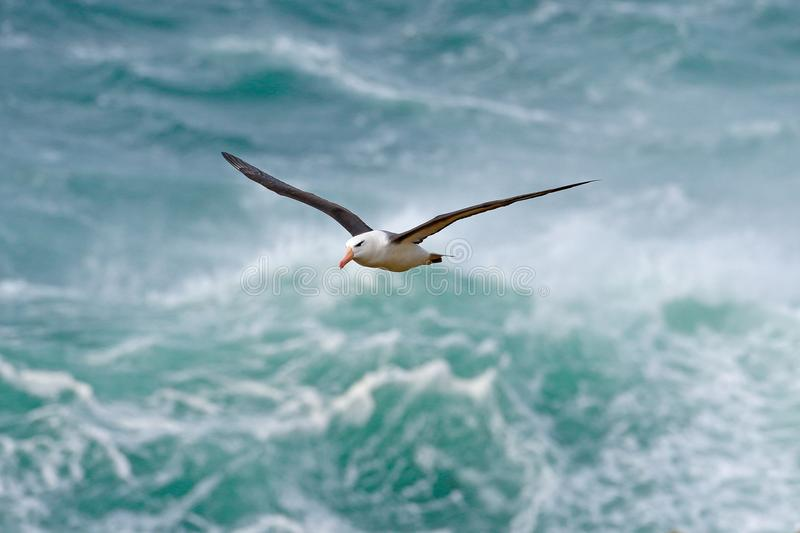 Albatro in mosca con l'onda del mare nei precedenti albatro Nero-browed, melanophris di Thalassarche, volo dell'uccello, onda del fotografia stock