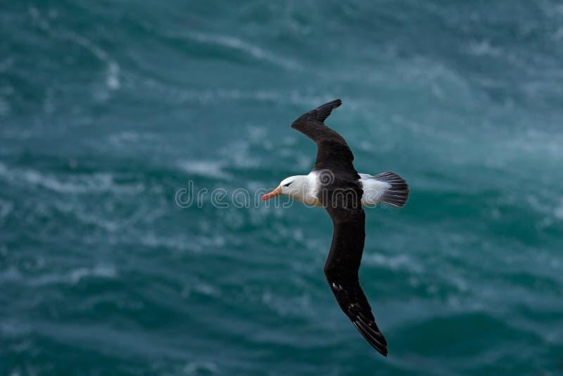 albatro Nero-browed, melanophris di Thalassarche, volo dell'uccello, onda del mare atlantico, su Falkland Islands fotografia stock libera da diritti