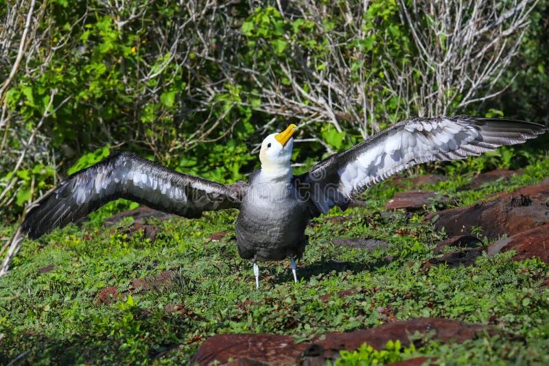 Albatro ondeggiato che spande le sue ali, parco nazionale dell'isola di Espanola, Galapagos, Ecuador fotografie stock libere da diritti