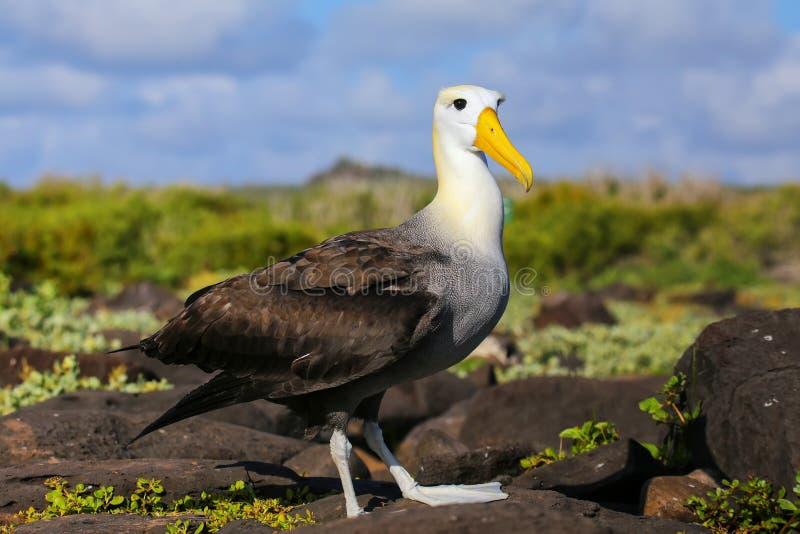 Albatro ondeggiato parco nazionale sull'isola di Espanola, Galapagos, Ecuador fotografia stock libera da diritti