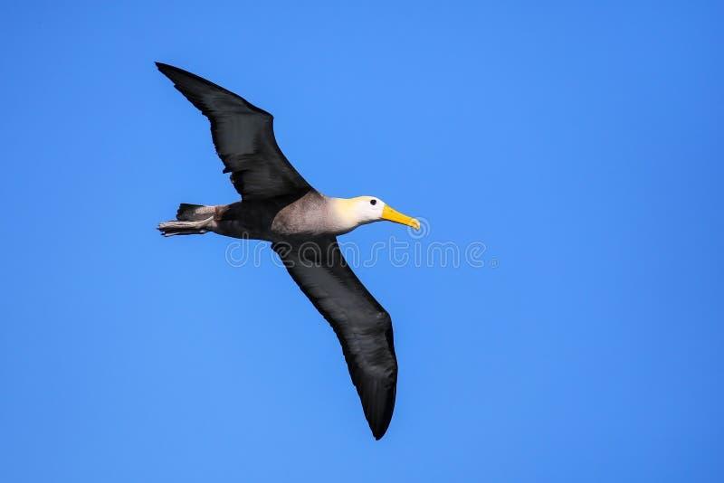 Albatro ondeggiato in volo parco nazionale sull'isola di Espanola, Galapagos, Ecuador fotografie stock