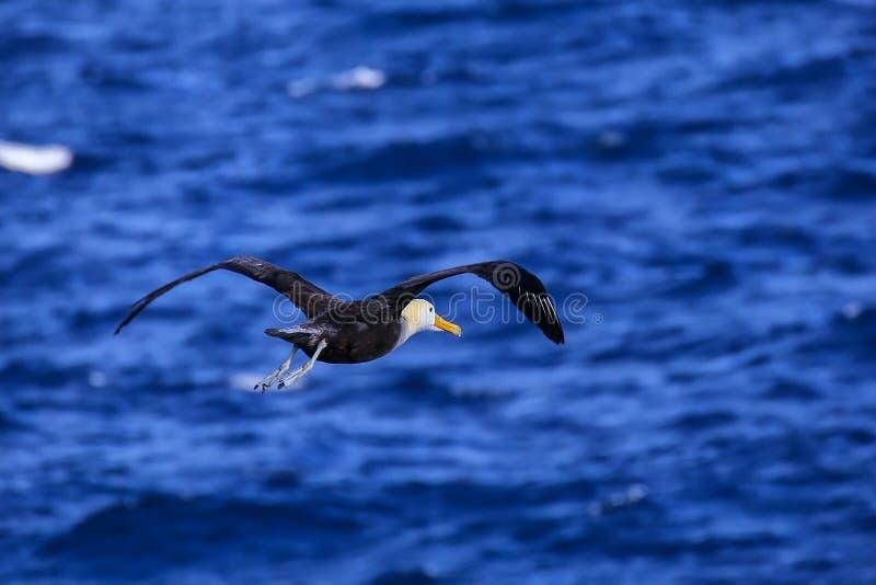 Albatro ondeggiato in volo parco nazionale sull'isola di Espanola, Galapagos, Ecuador fotografia stock libera da diritti