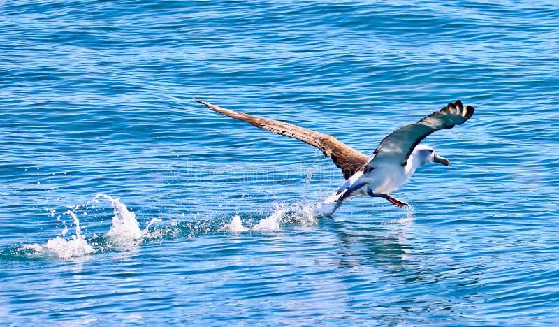 Albatros photographie stock