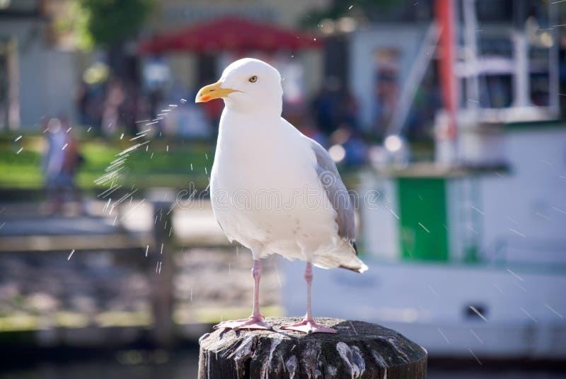 Albatros photo libre de droits