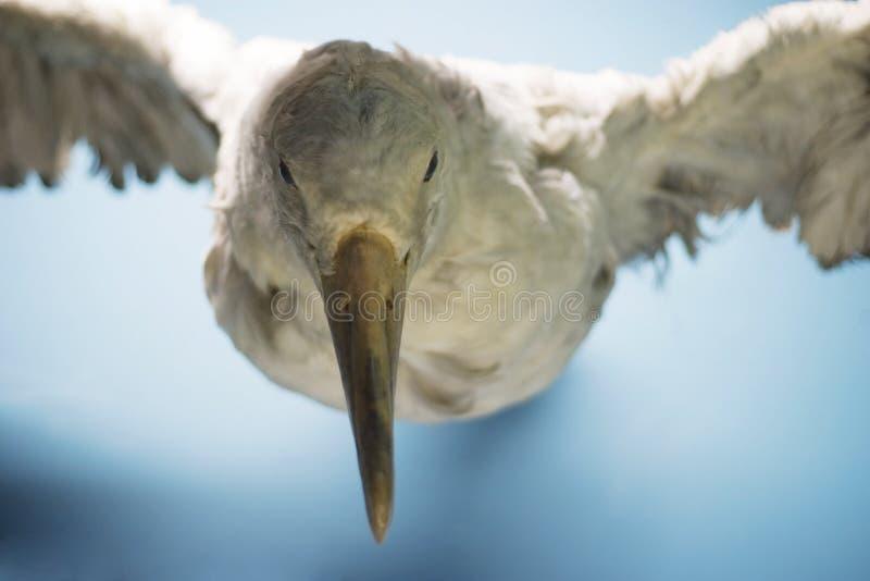 Albatros photo stock