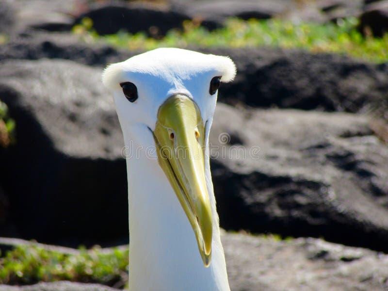 Albatros agitado imágenes de archivo libres de regalías
