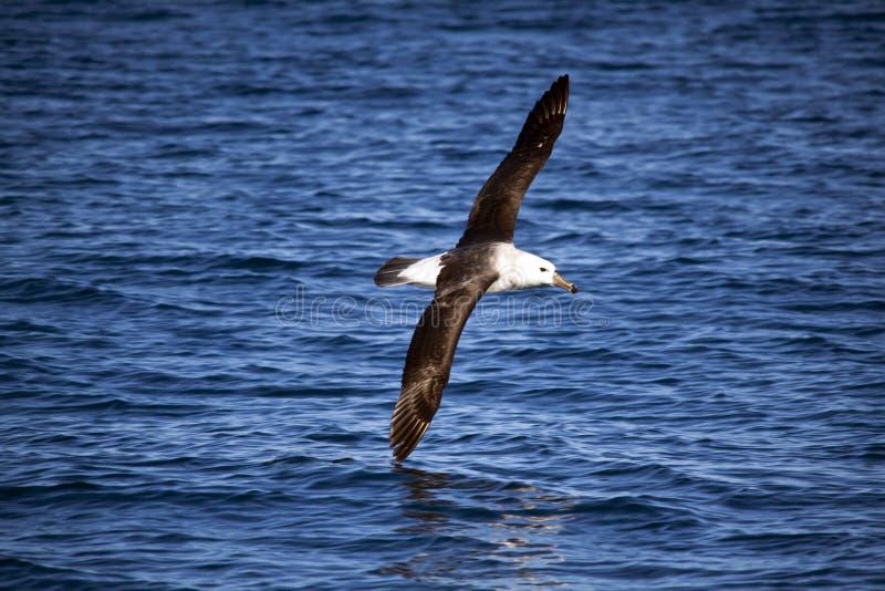 albatros Amarillo-olfateado en vuelo, elevándose sobre el mar imagenes de archivo