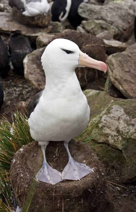 Albatros Black-browed - îles de Falkand image libre de droits