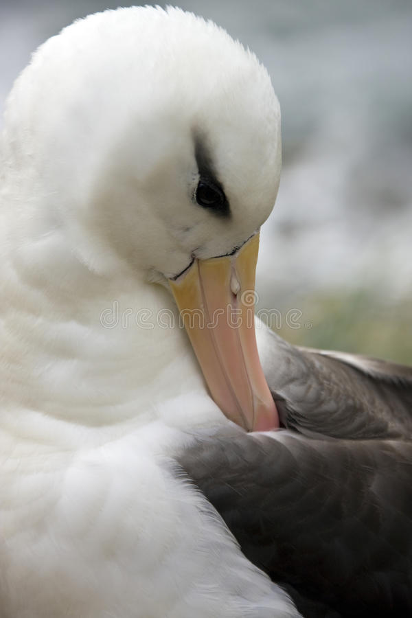Albatros Black-browed - îles Malouines photos libres de droits