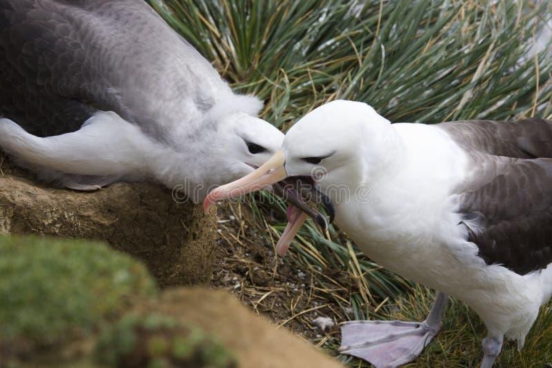 Albatros Black-browed - îles Malouines photos stock