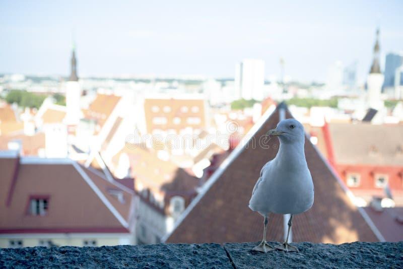 Albatros courageux et curieux posant devant la vieille ville de Tallinn photos stock