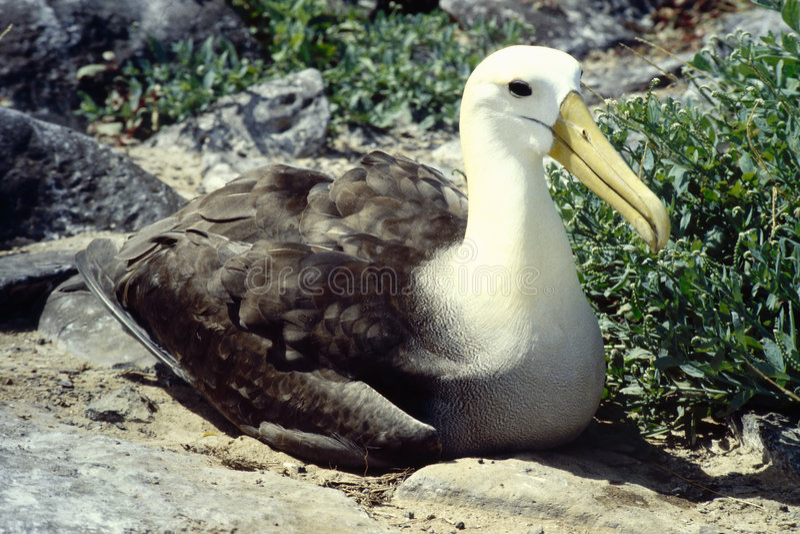 Albatros - de Eilanden van de Galapagos stock foto