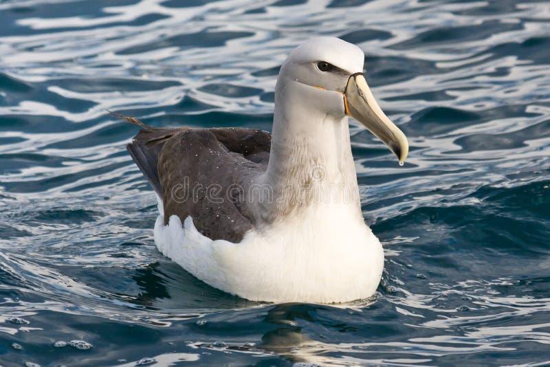 Albatros de Salvins outre de côte de Kaikoura images libres de droits