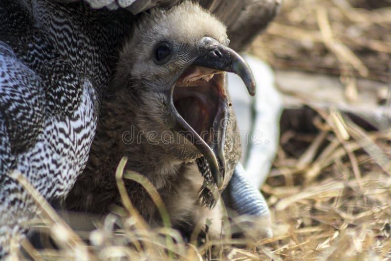 Albatros del bebé con su pico abierto imágenes de archivo libres de regalías
