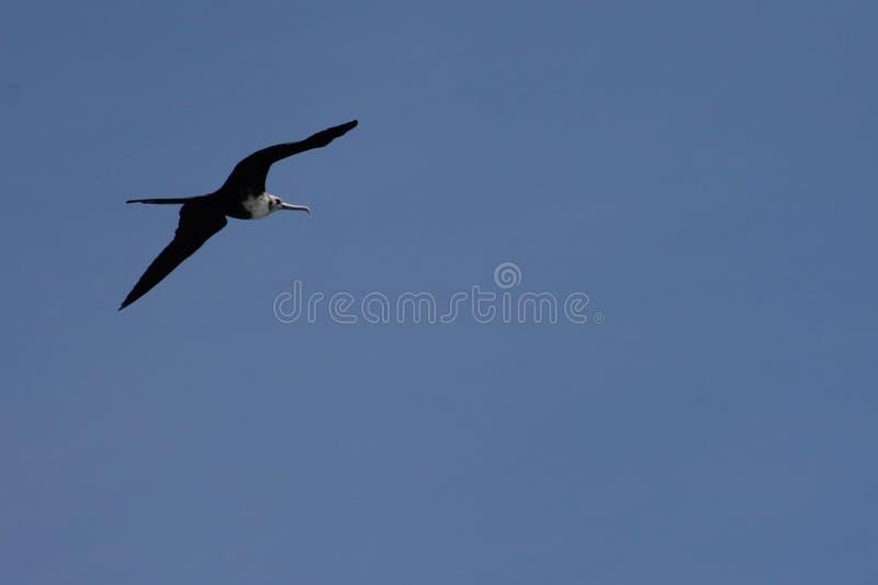 Albatros, der friedlich auf den blauen Himmel fliegt lizenzfreie stockbilder