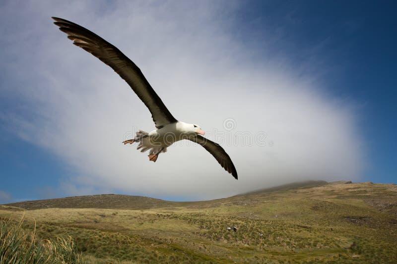 Albatros en vol photographie stock libre de droits