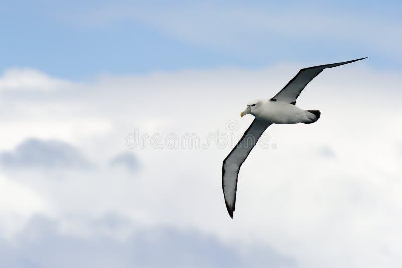 Albatros en vol image libre de droits